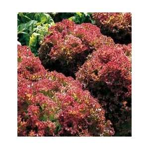 Lolla Rossa Lettuce   500 Seeds: Patio, Lawn & Garden