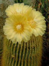 YELLOW BLOOMS NOTOCACTUS BALL CACTUS Succulent Plant