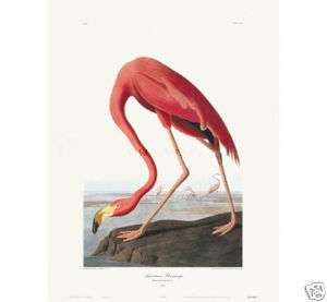 AMERICAN FLAMINGO by John James Audubon 24 X 15 3/4