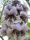 BEAUTIFUL PAULOWNIA TREE Paulownia catalpifolia   100+EXTRA seeds