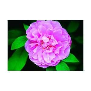 Therese Bugnet Rose Seeds Packet Patio, Lawn & Garden