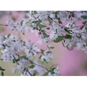 Weeping Cherry Tree Blossoms, Louisville, Kentucky, USA